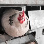 Grippe aviaire : vigilance et prévention